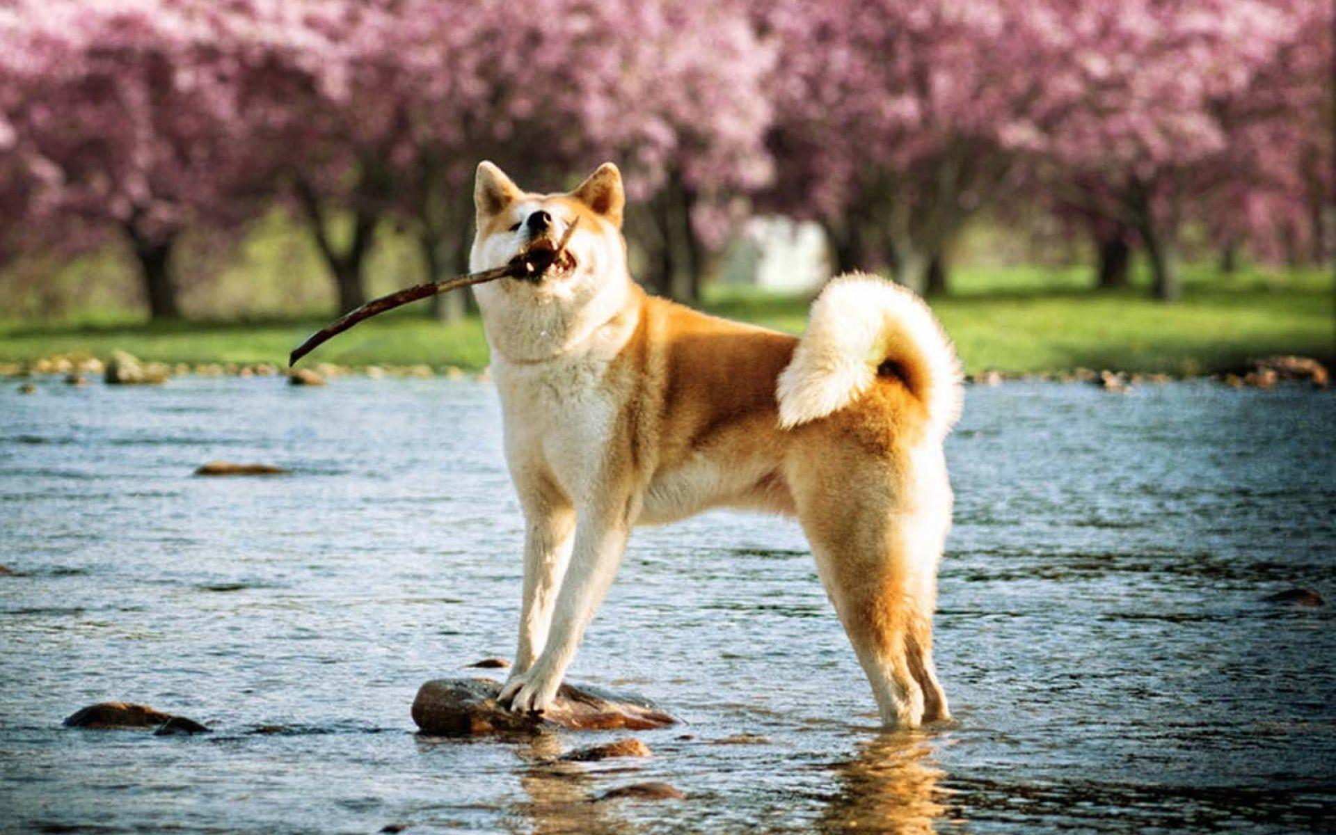 Free Akita Wallpapers Wallpaper Cave