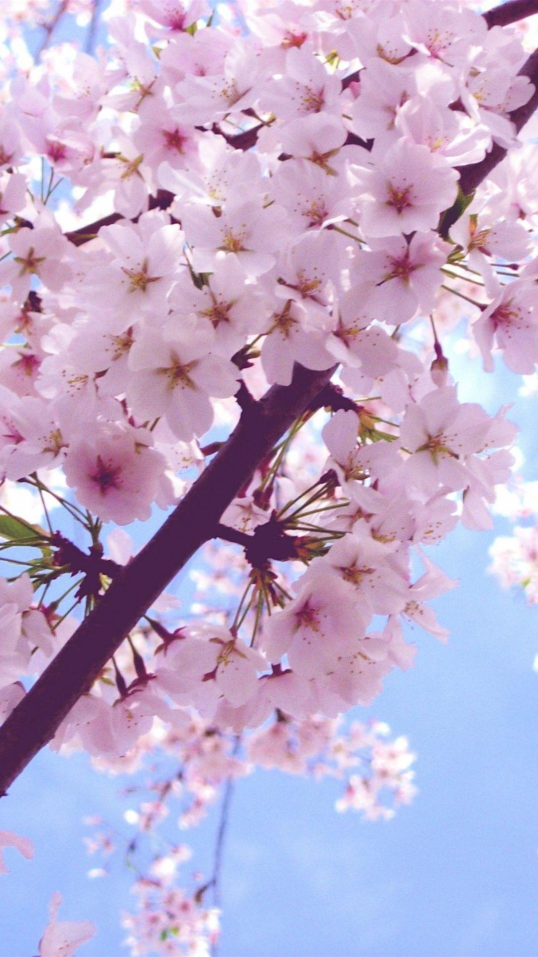 Cherry Blossom iPhone 6 Plus Wallpapers 6556