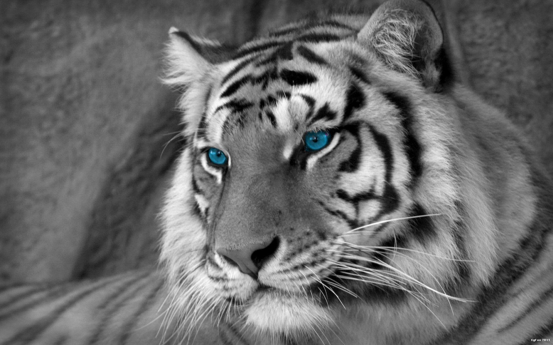 White Tiger Mobile Wallpapers Wallpaper Cave