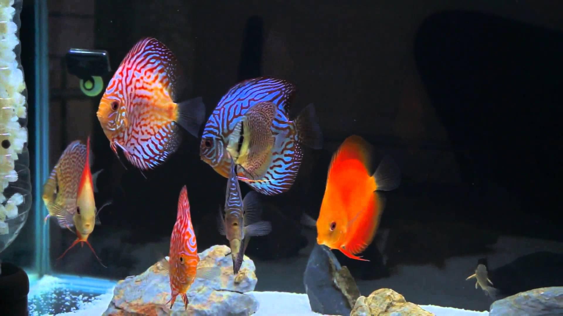 Discus Fish Wallpapers Hd Wallpaper Cave