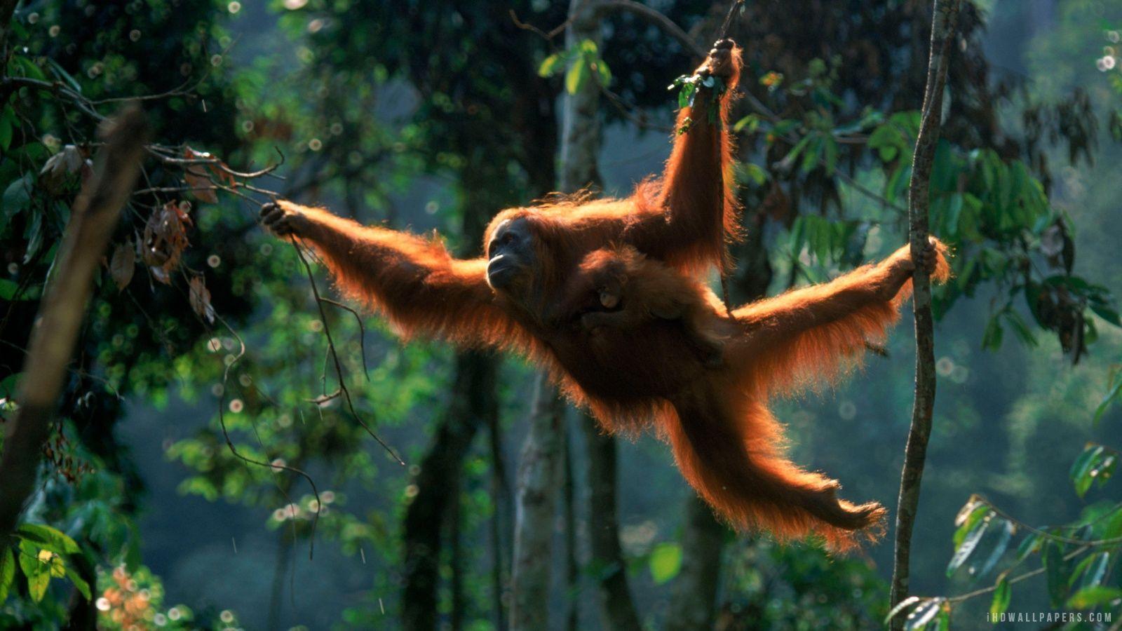 Orangutan Hd Wallpapers Wallpaper Cave