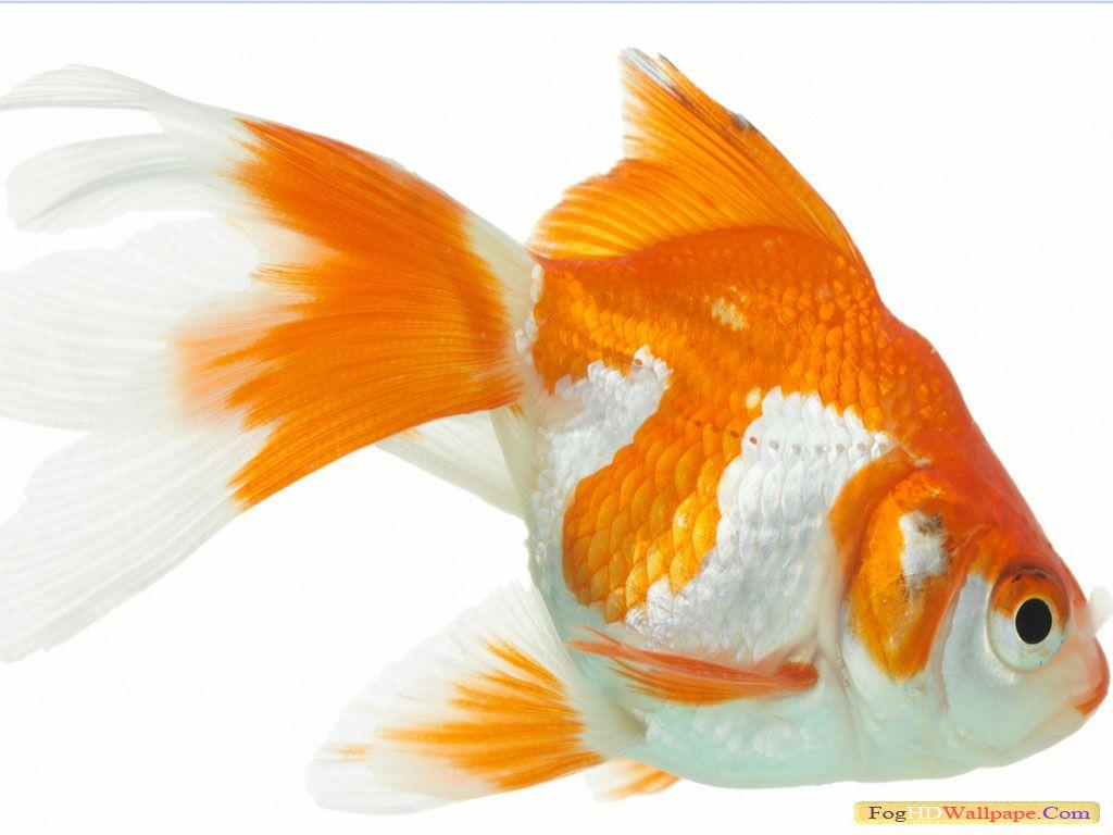 Gold Fish HD Wallpapers 1080p
