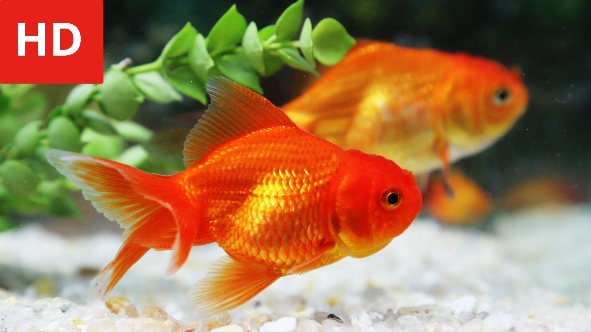 Hd Wallpapers For Laptops Gold Fish Wallpaper Cave
