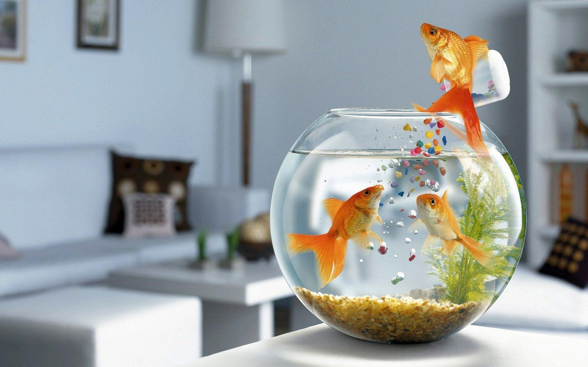 Goldfish getting their own food HD Wallpapers