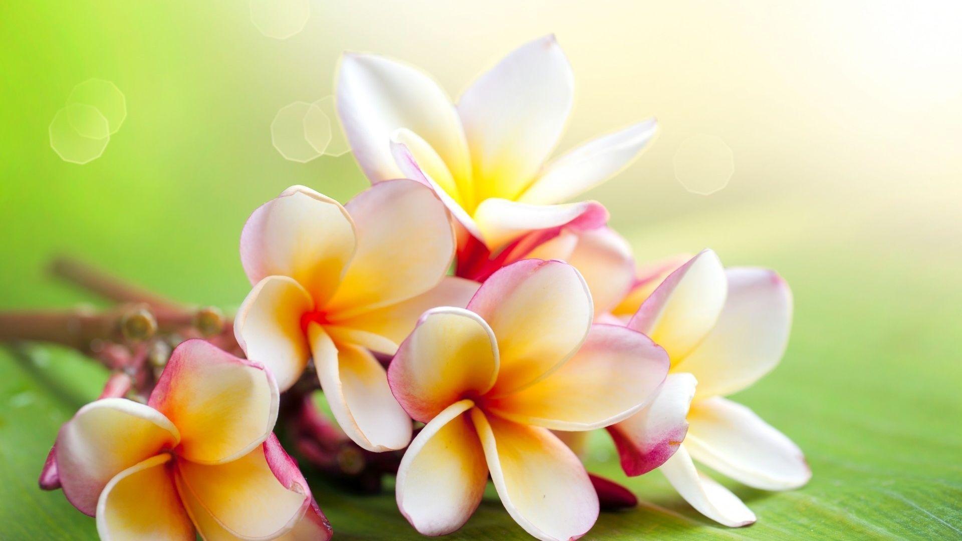 Jasmine Flower Wallpapers Hd Wallpaper Cave