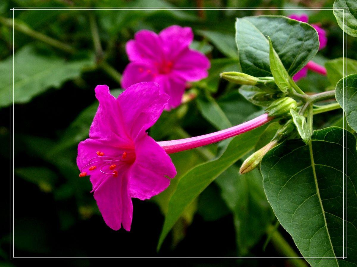 Jasmine Flower Wallpapers Hd Wallpaper Cave