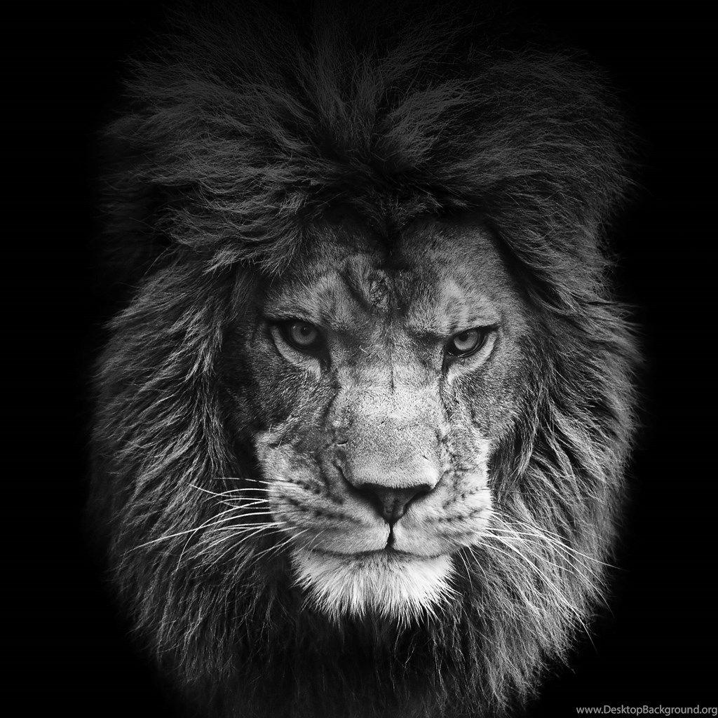 Lions Black Wallpapers Wallpaper Cave