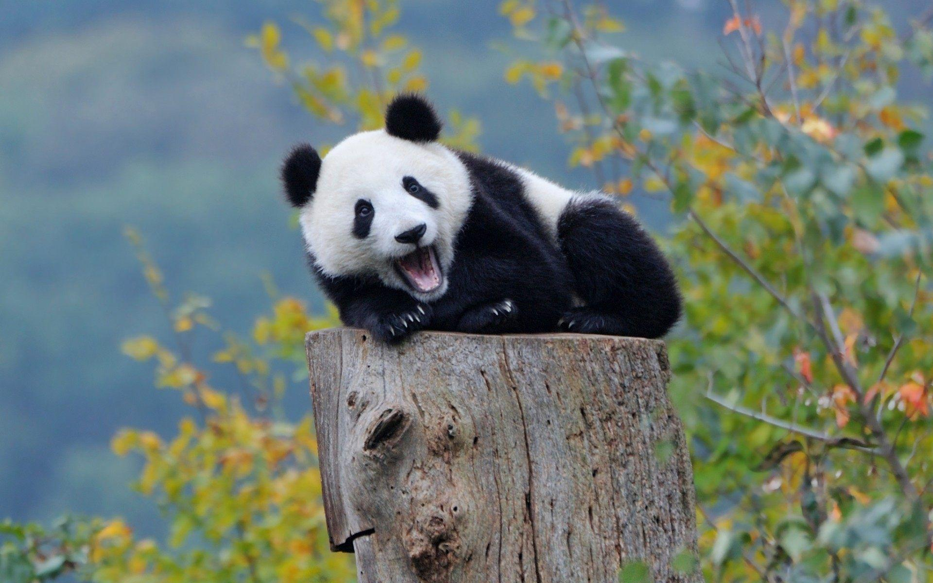 Panda Wallpaper Cute Bears Photos 1920x1200