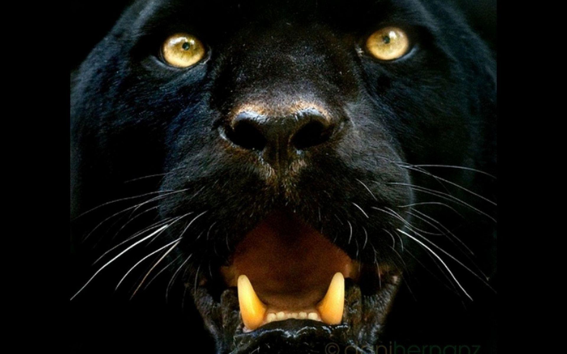 Black Panther Animal Wallpaper Download Belgium Hotels 5 Star