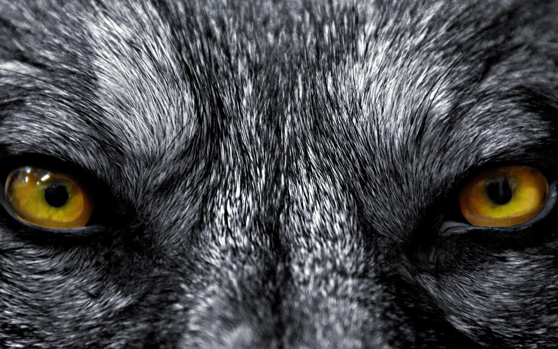 Angry Lion Eyes Wallpapers Wallpaper Cave