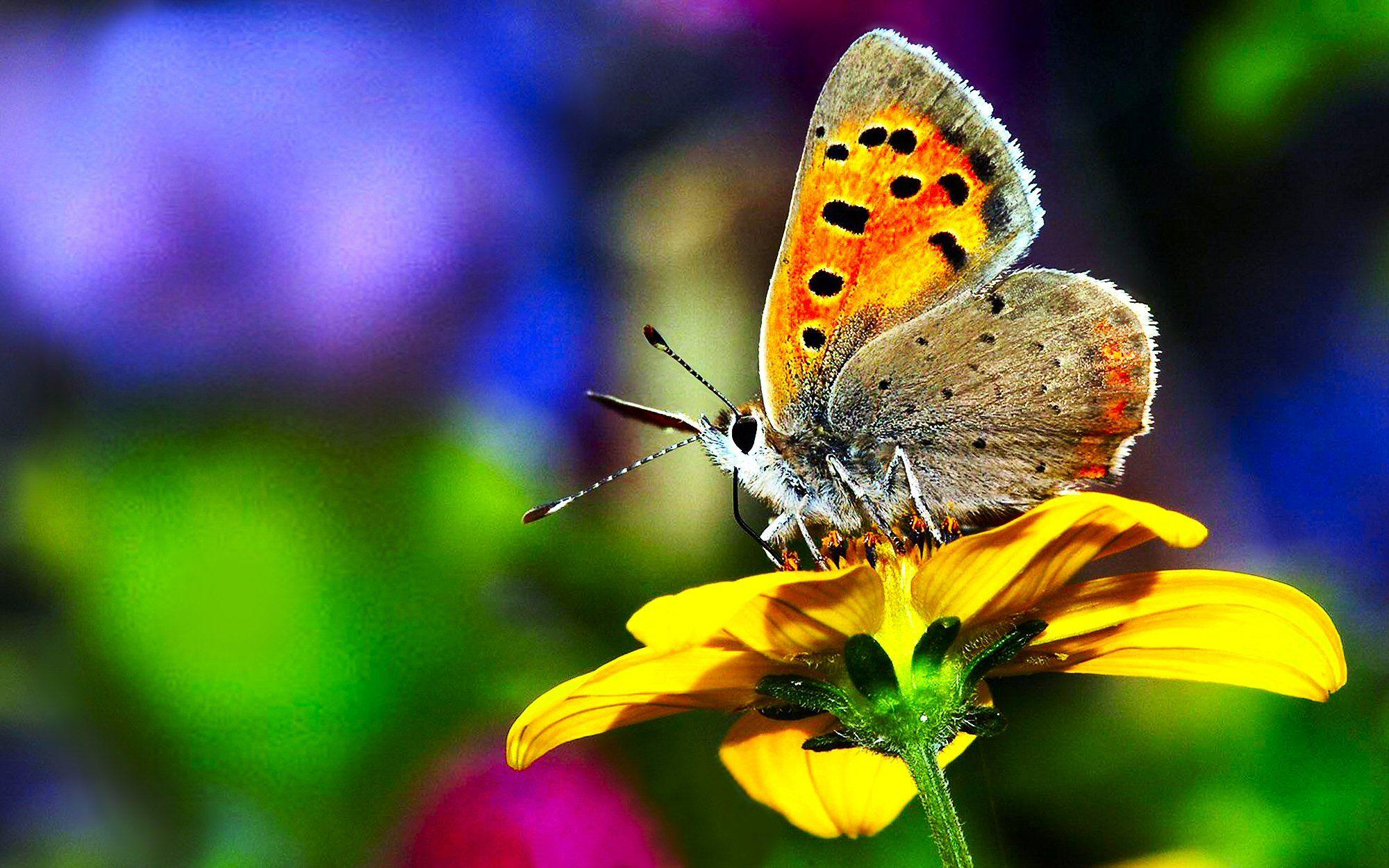Butterfly Nature Wallpapers HD - Wallpaper Cave