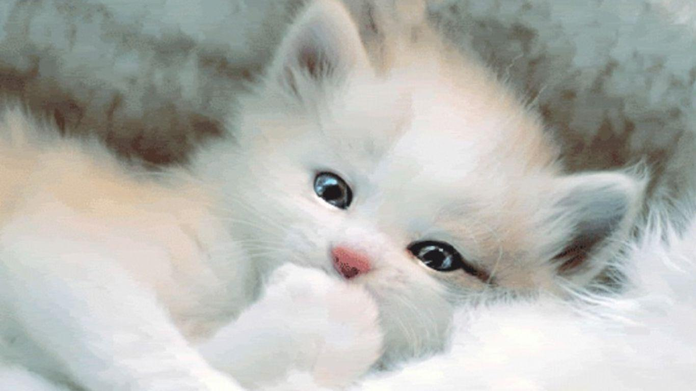Cute White Cat Free Wallpapers Wallpaper Cave
