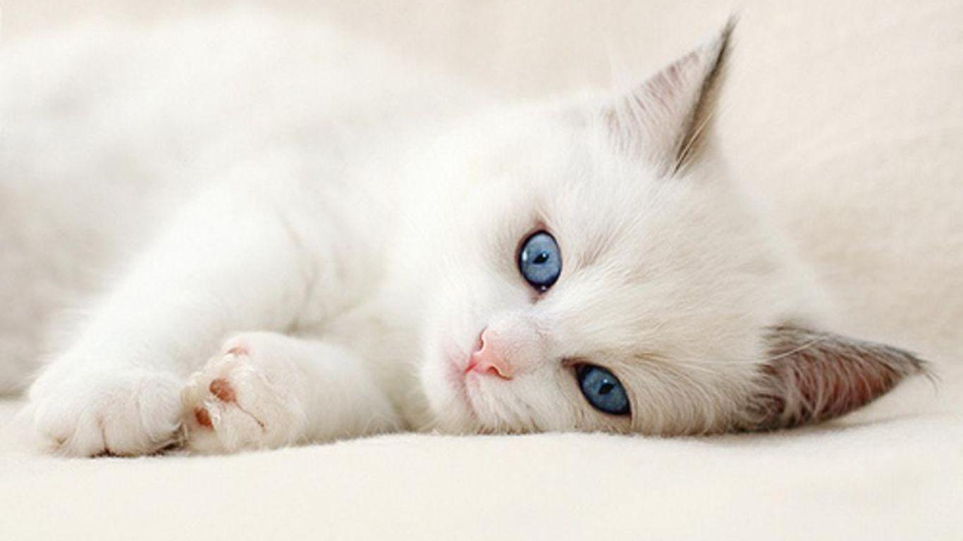 Little White Cat Wallpaper Hd