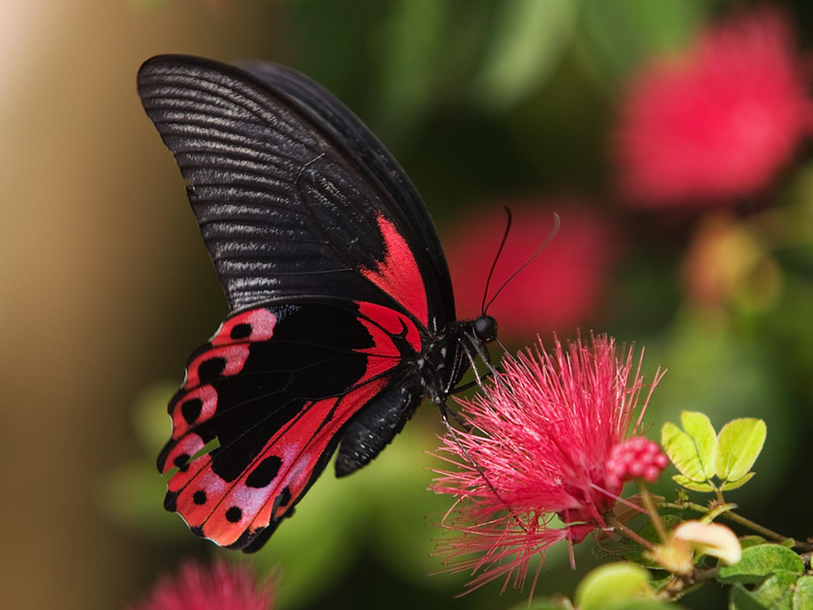 Red Butterfly HD Wallpapers - Wallpaper Cave