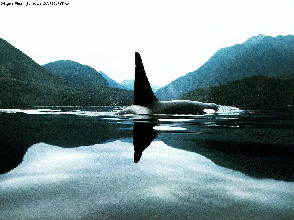 Killer Whale Wallpapers - Wallpaper Cave