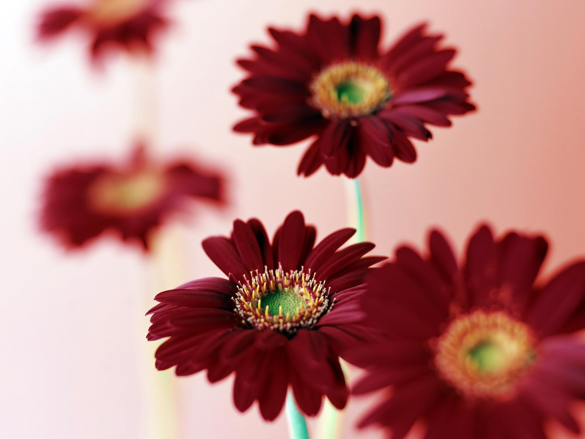 pink daisy flower wallpaper - flowers healthy