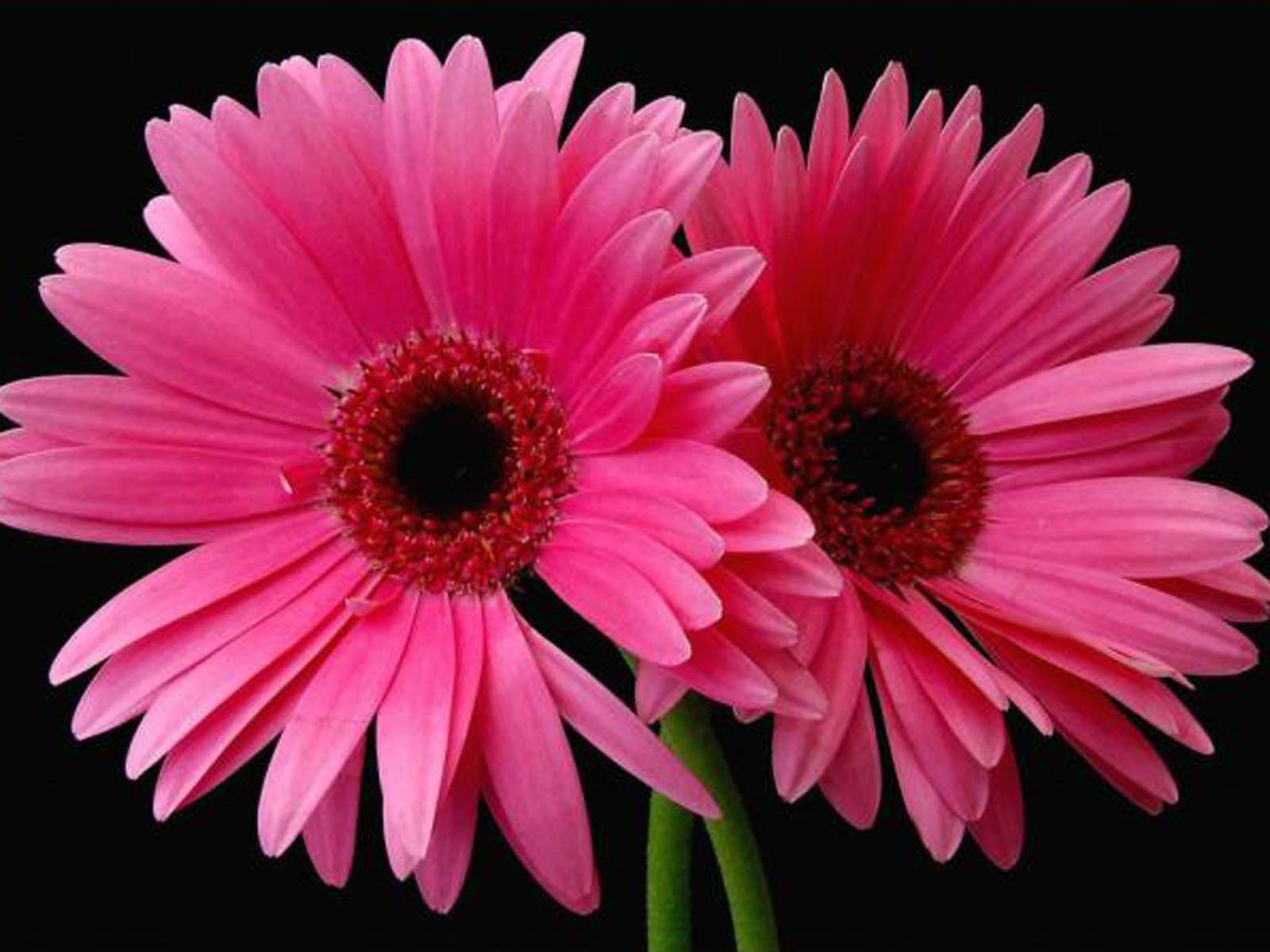 Pink Daisy Flower Wallpapers - Wallpaper Cave