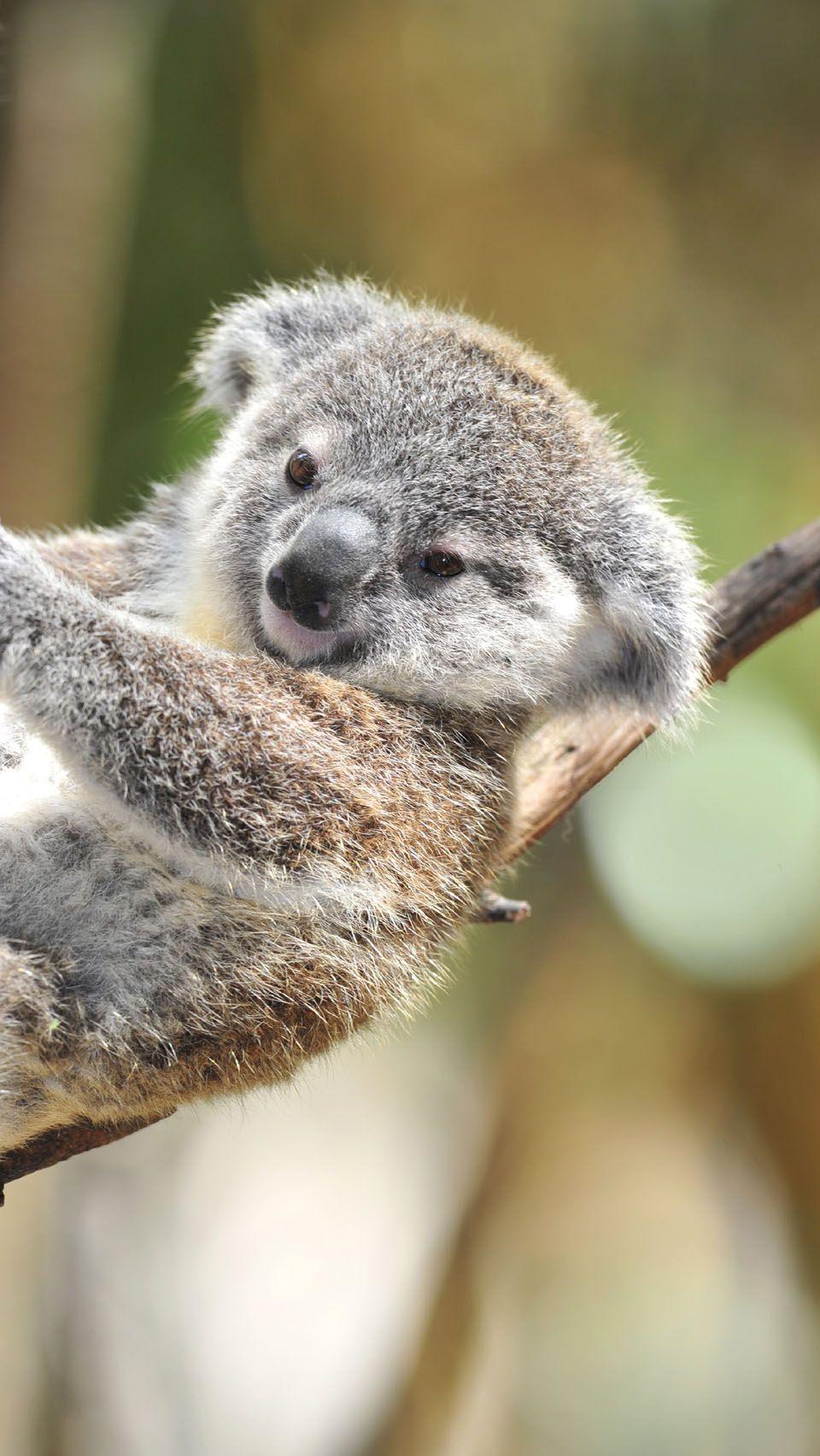 Baby Koala Wallpapers - Wallpaper Cave