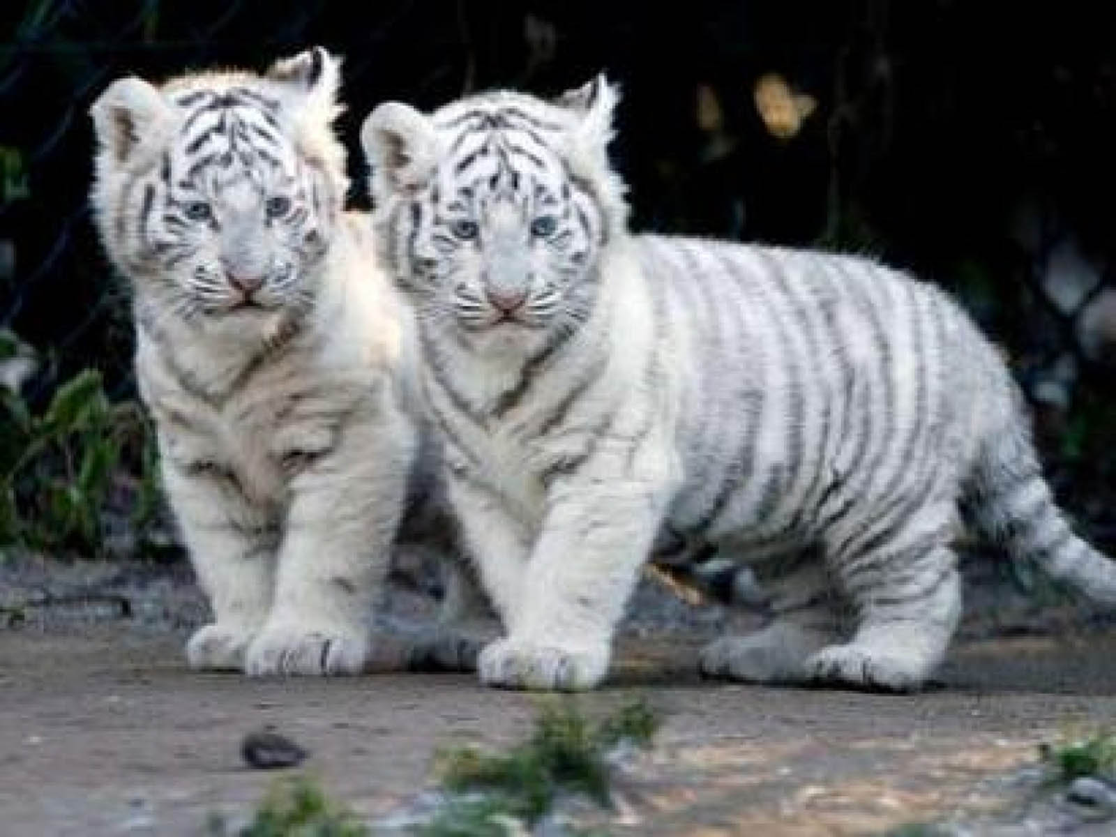 White Tiger Cub Wallpapers Hd Wallpaper Cave