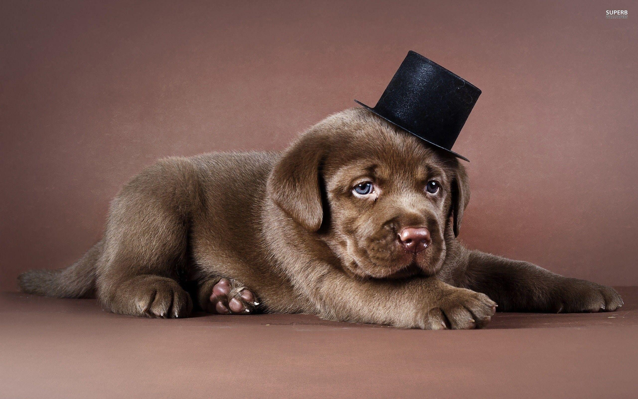 Baby Chocolate Labs Wallpapers Wallpaper Cave
