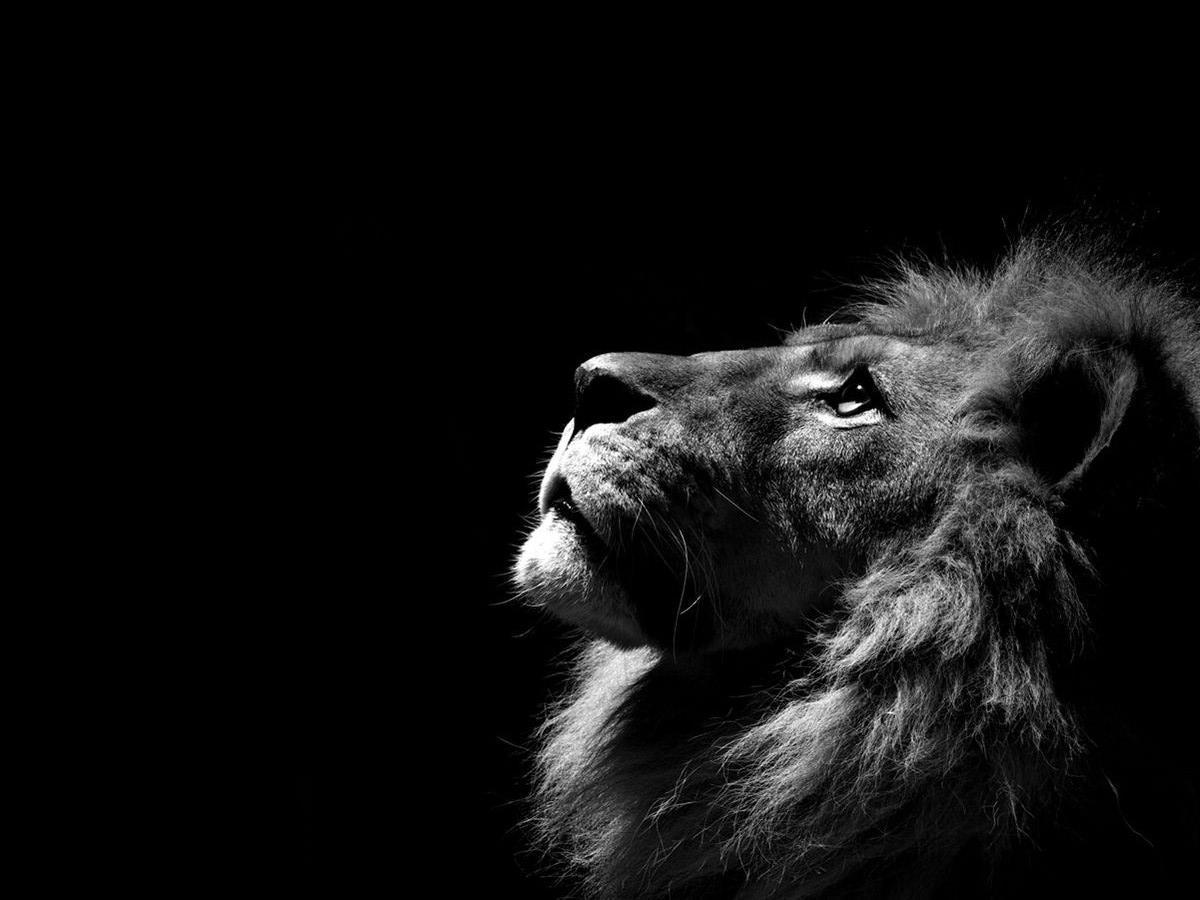 Lion In Black Background Images Wallpaper Cave