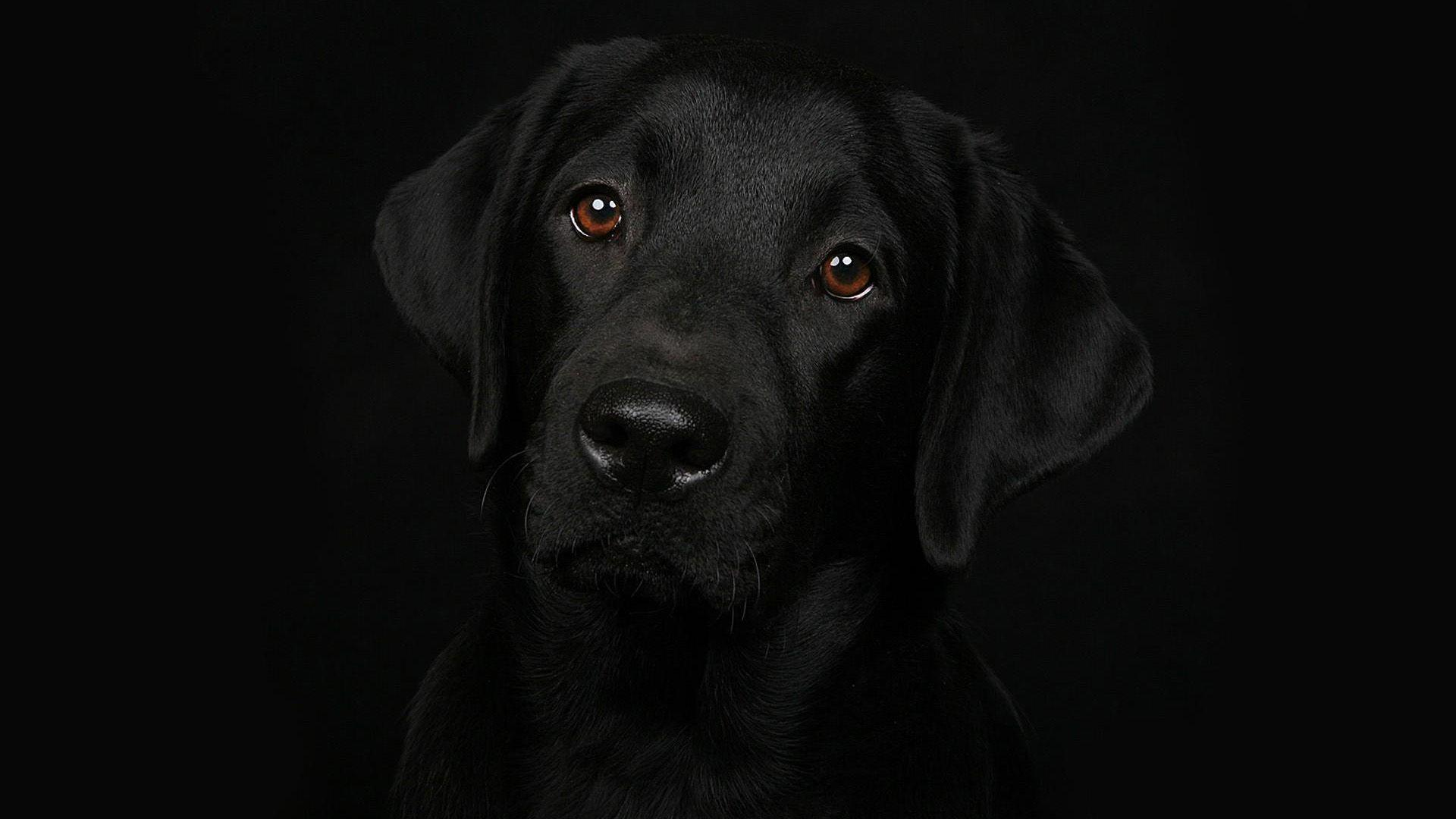black dogs wallpapers - wallpaper cave