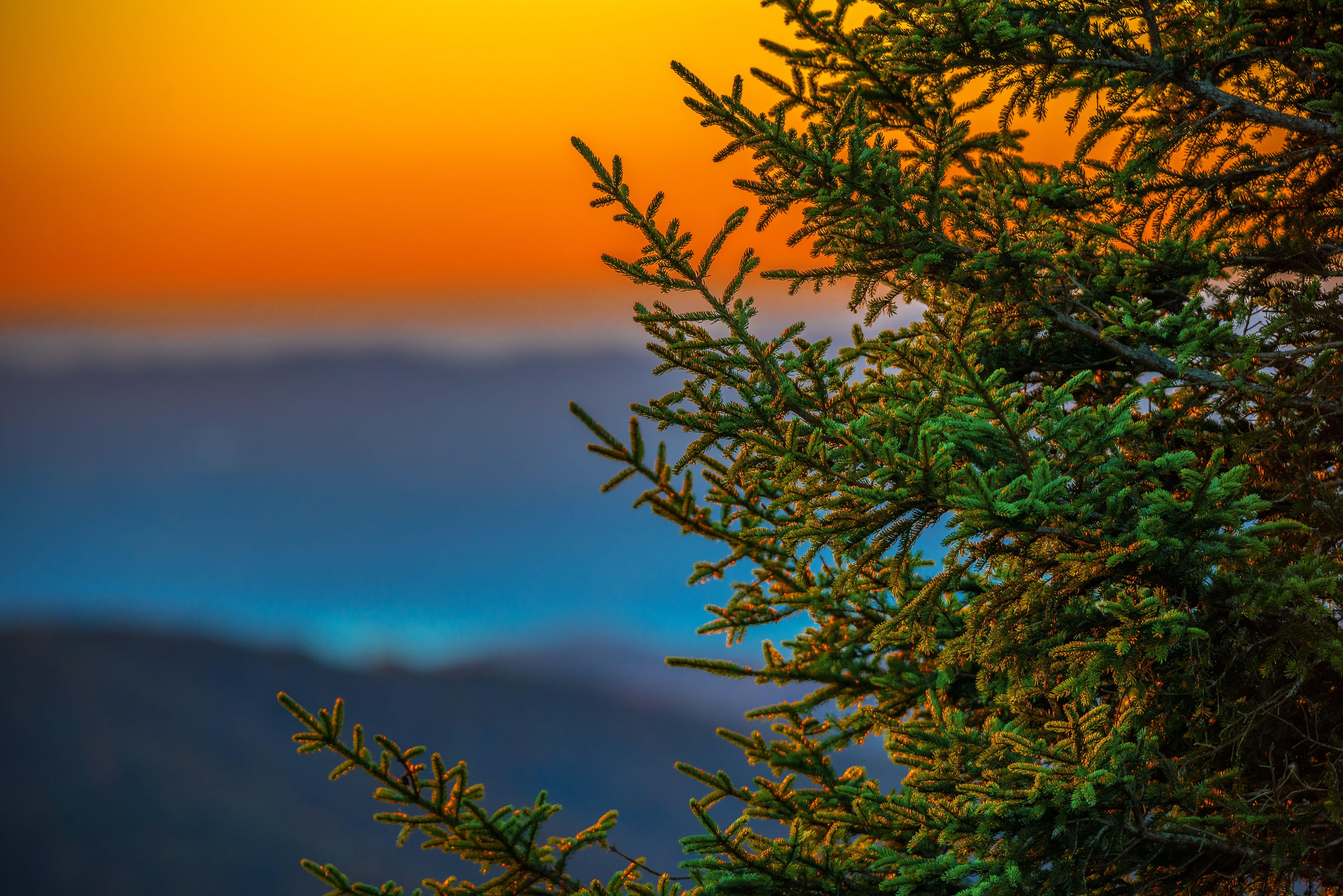 Green plant during daytime, pine tree, blue ridge parkway HD