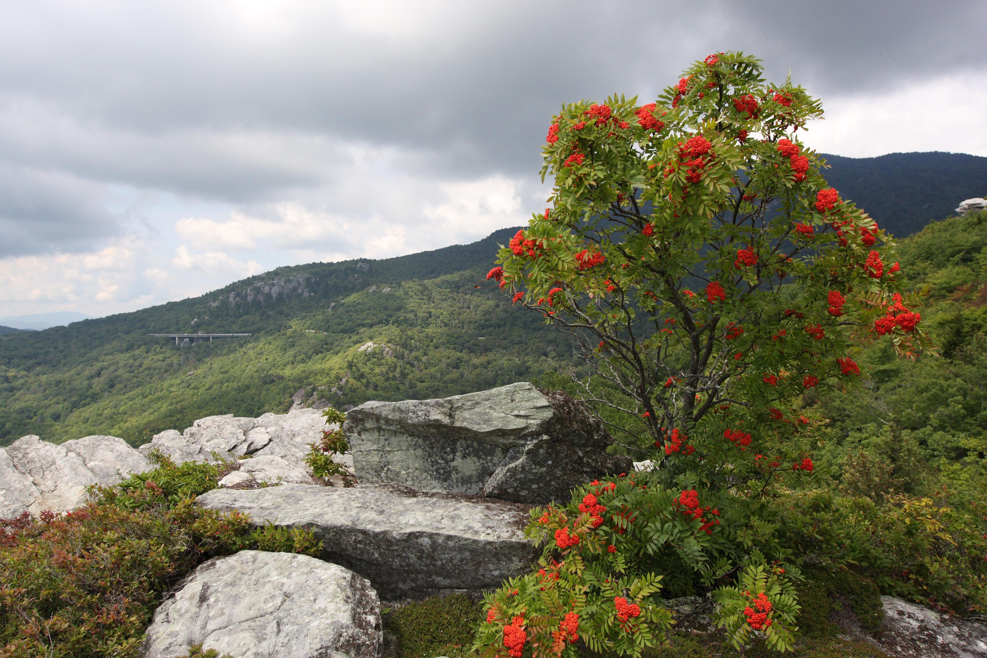 Photo Red Azaleas on the Blue Ridge Parkway