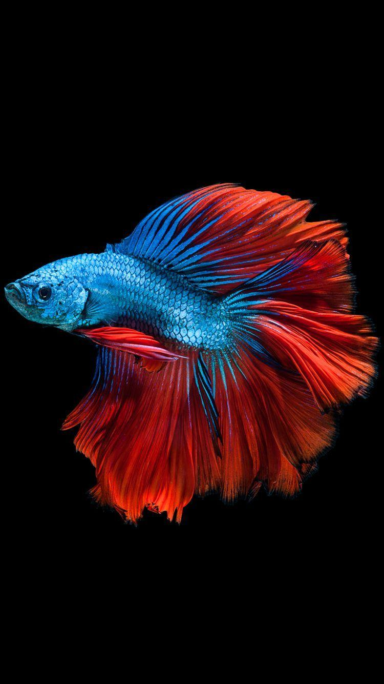 409489cb0d8 Apple iPhone 6s Wallpaper with Blue Betta Fish in Dark Background in .