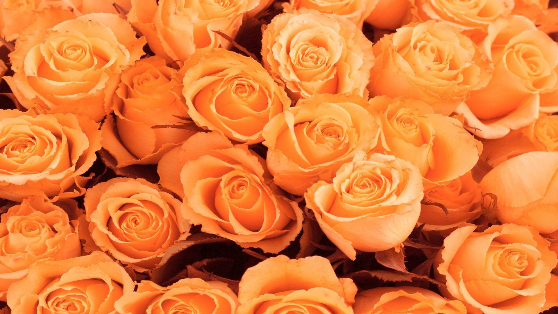 Wallpaper Orange Peach Rose Pretty Picturesboss
