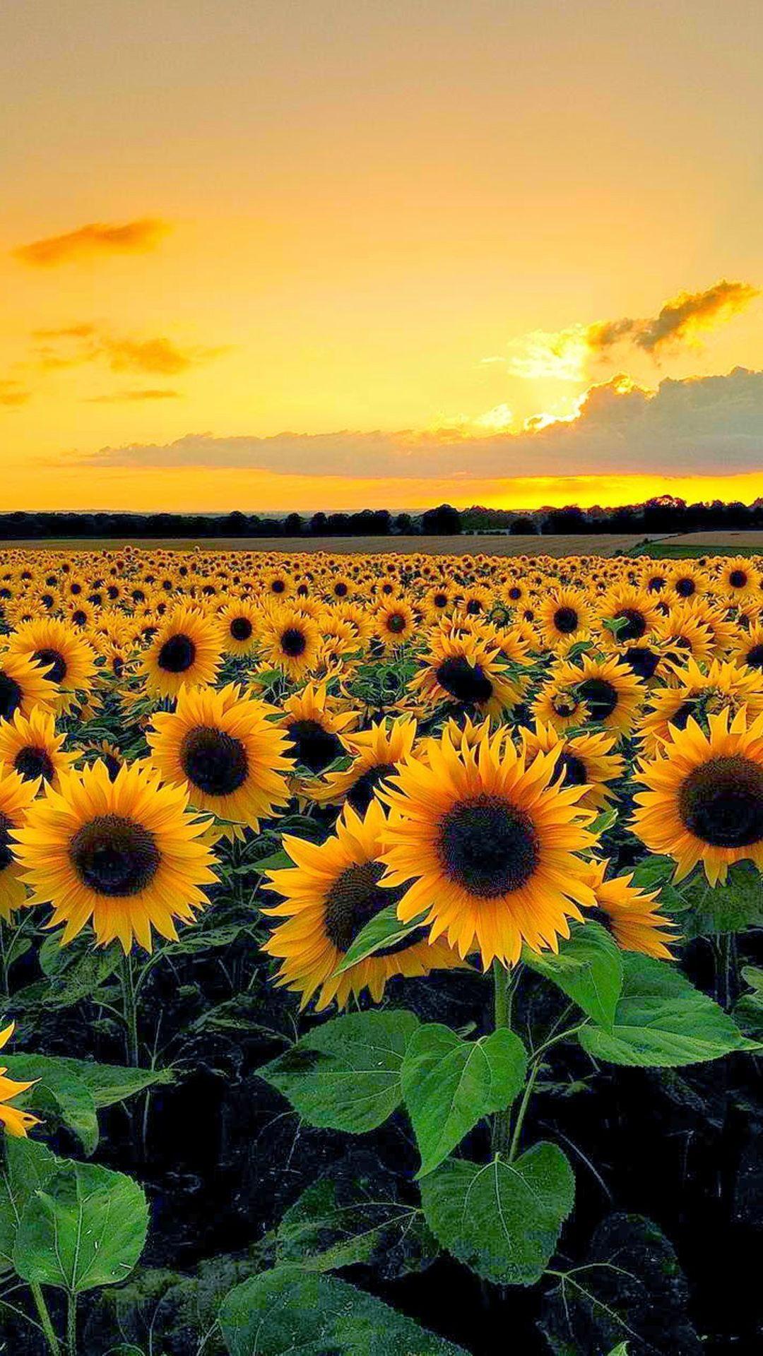 Sunflower Field Wallpapers Wallpaper Cave