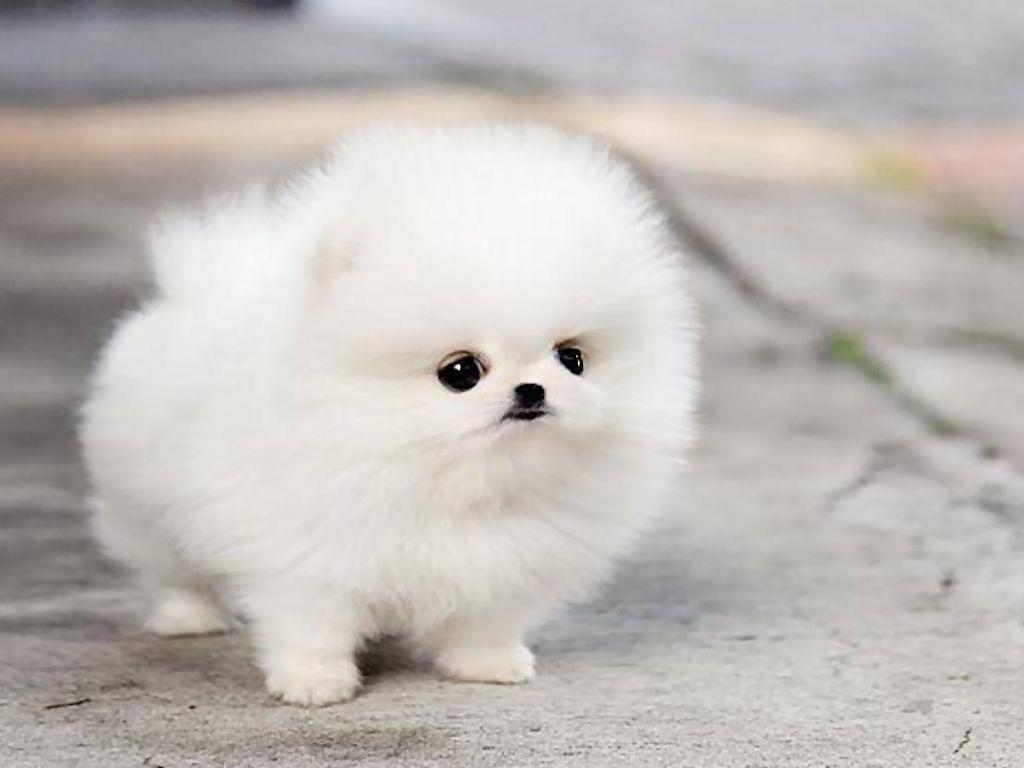 Fluffy Puppies Wallpapers Wallpaper Cave