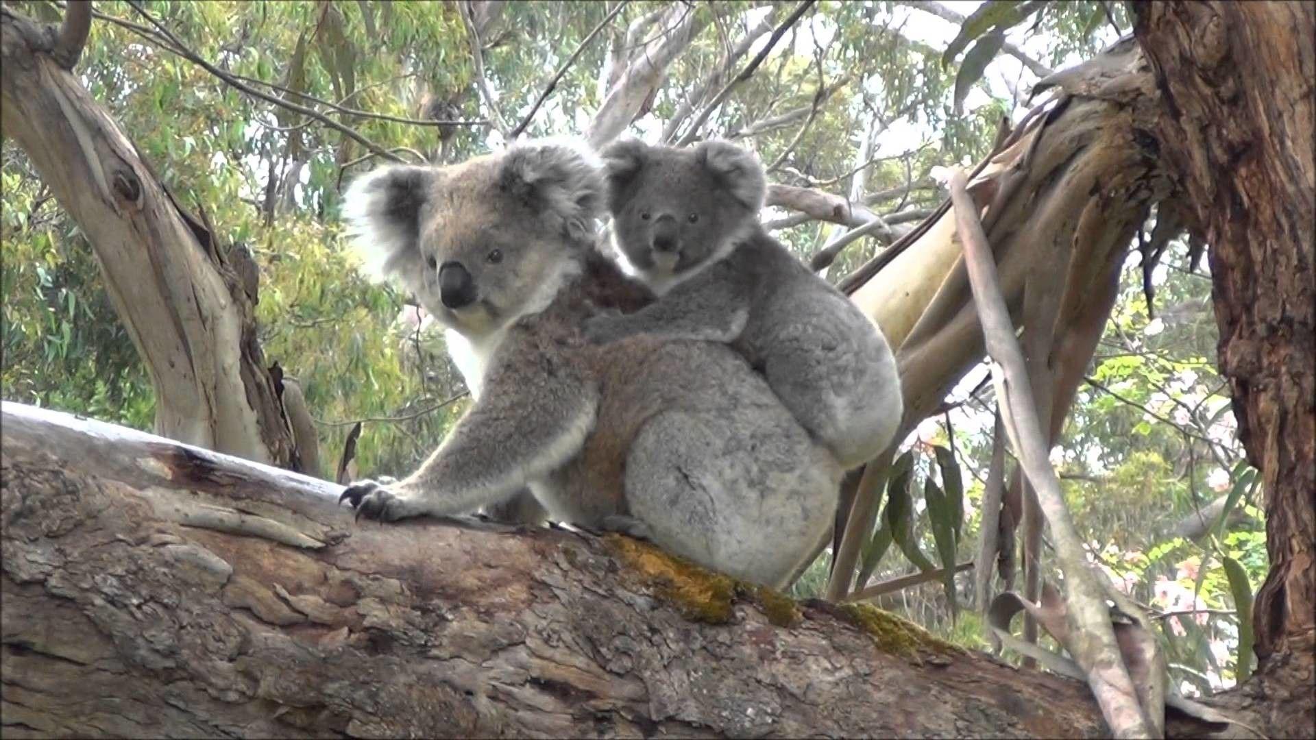 Baby Koala Wallpapers