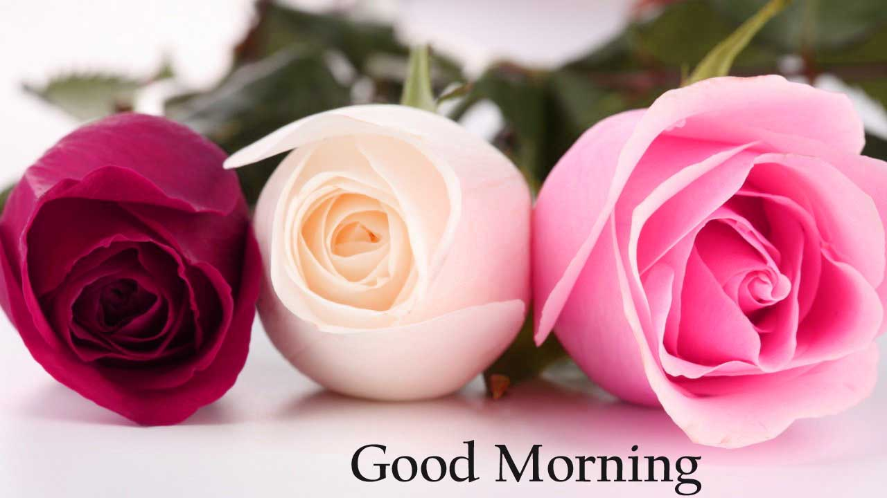 Good Morning Rose Wallpapers Wallpaper Cave