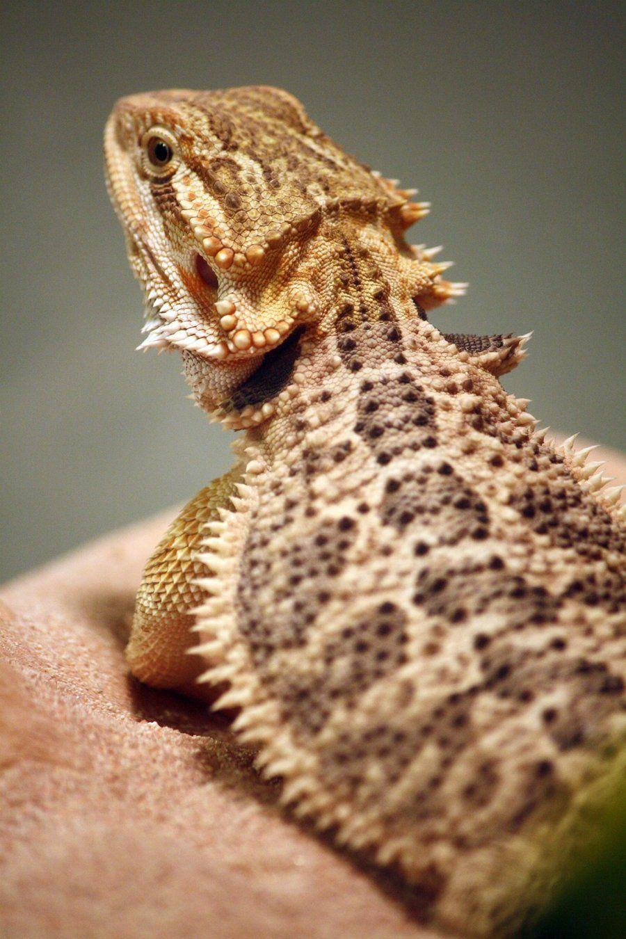 Bearded Dragons Wallpapers Wallpaper Cave