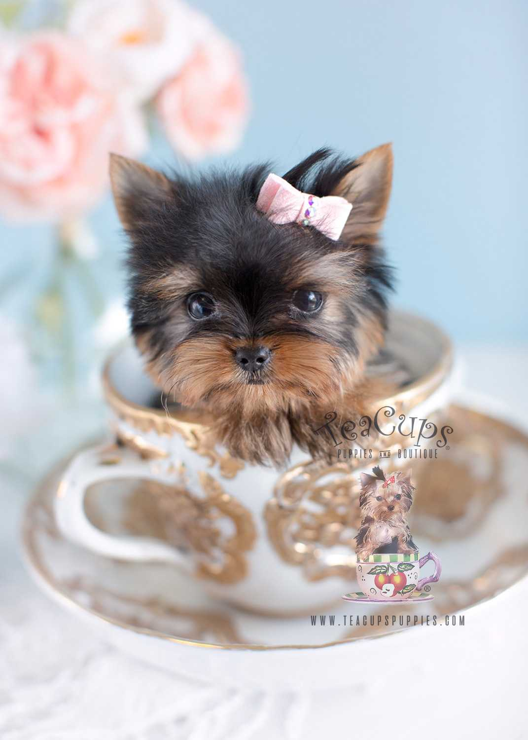 Teacup Puppies Wallpapers Wallpaper Cave