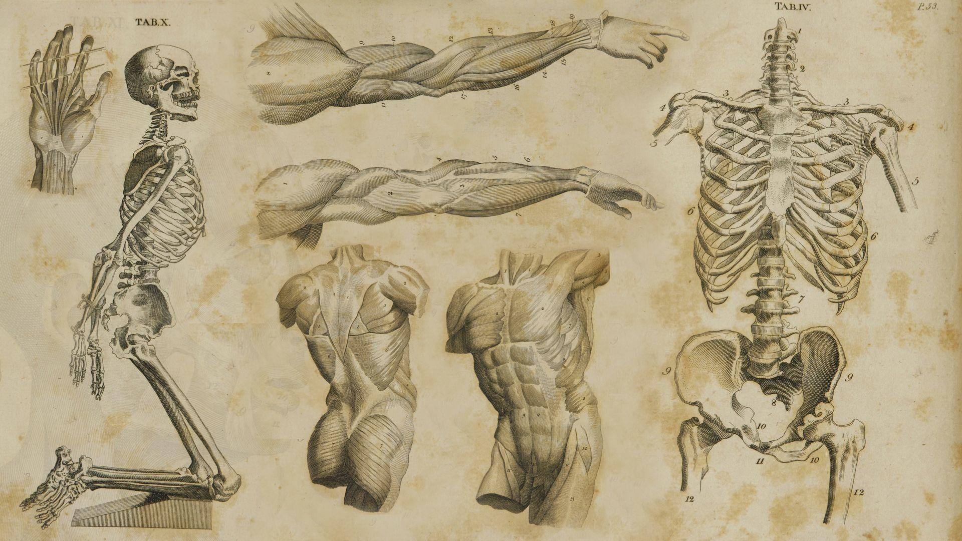 Human Anatomy Wallpapers Wallpaper Cave