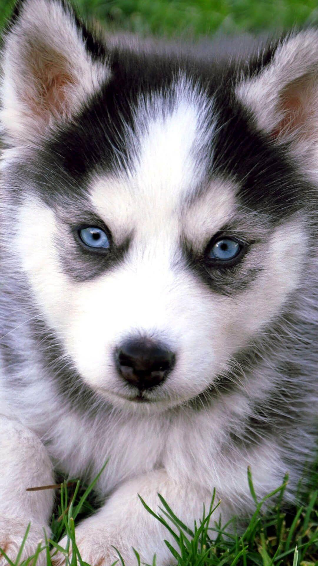Siberian Husky Puppies Wallpapers Wallpaper Cave