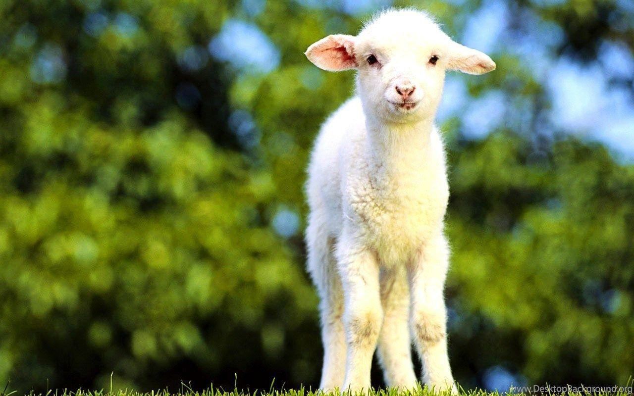 Baby Goat Wallpapers - Wallpaper Cave