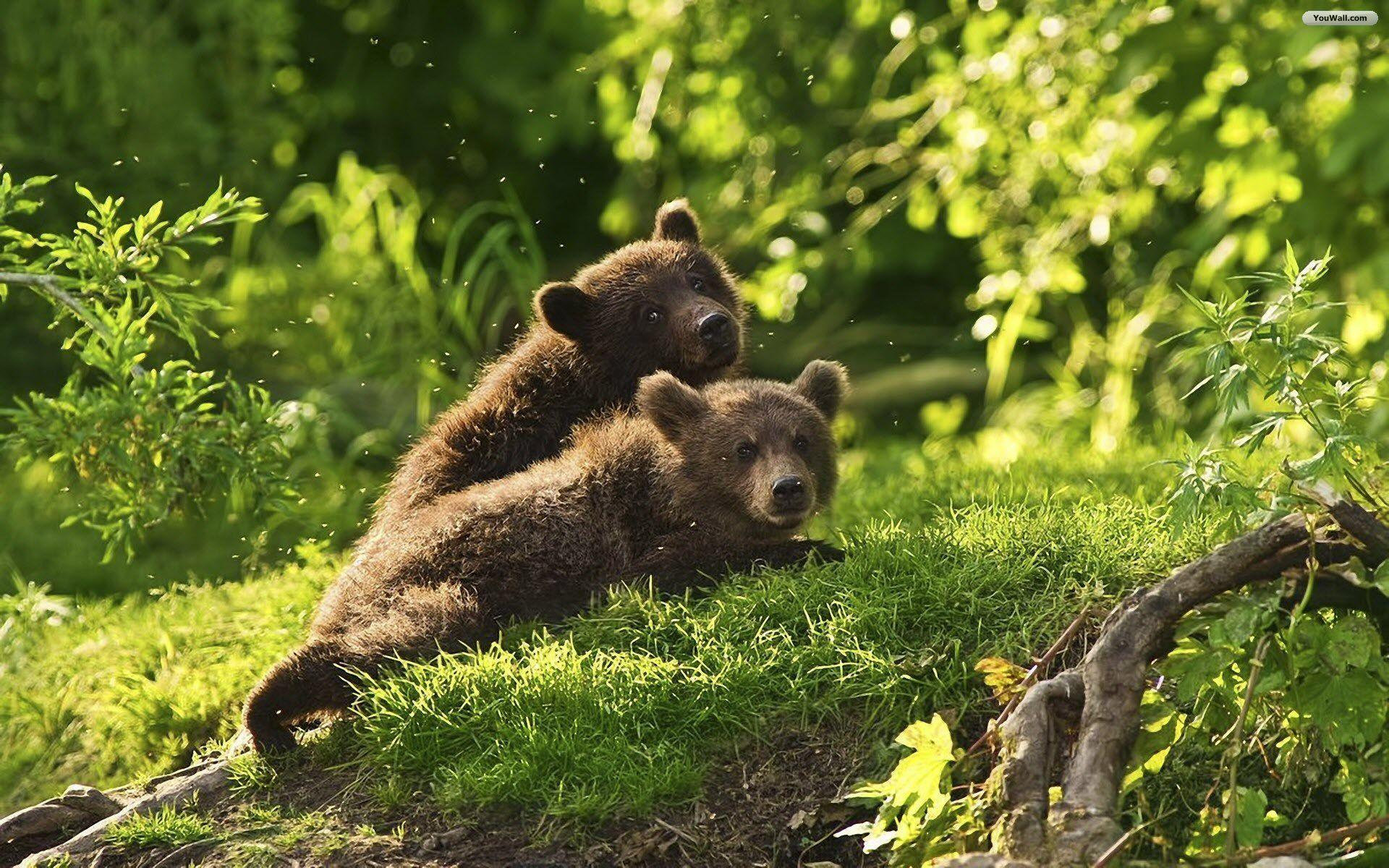 Baby Bears Wallpapers Wallpaper Cave