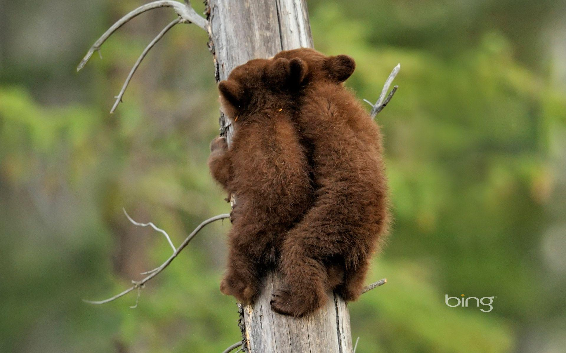 Baby Bears Wallpapers - Wallpaper Cave