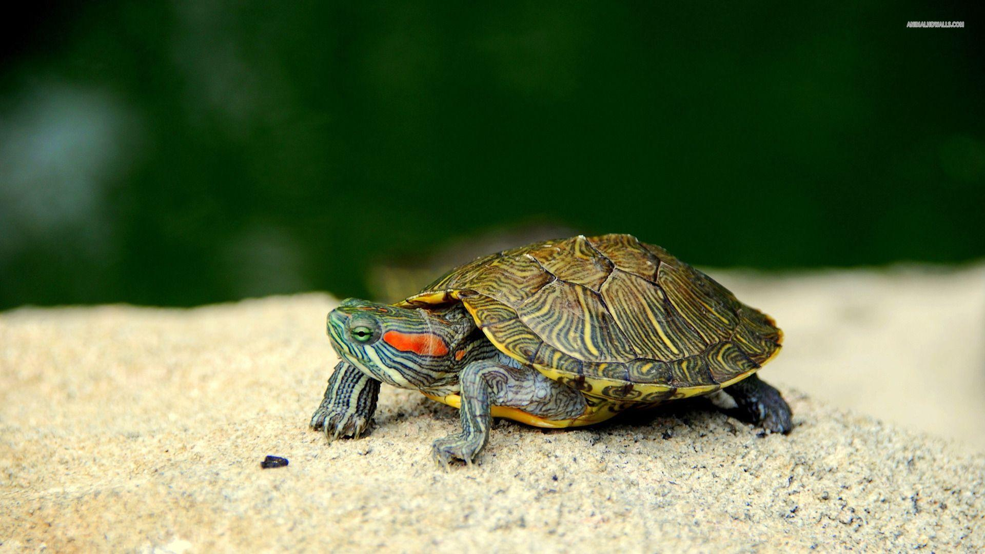 Red Eared Slider Turtles Wallpapers Wallpaper Cave