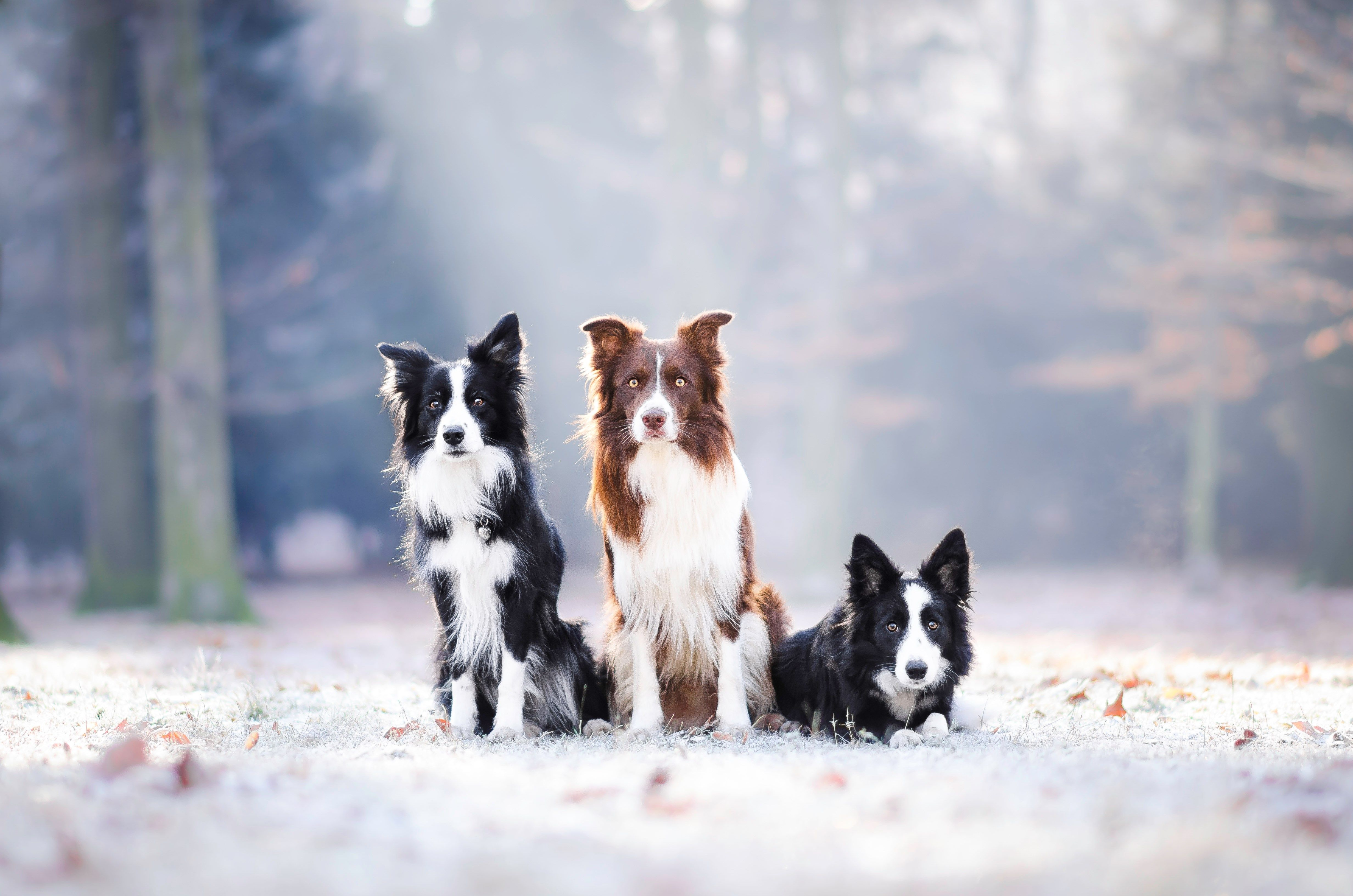 Border Collies Wallpapers Wallpaper Cave