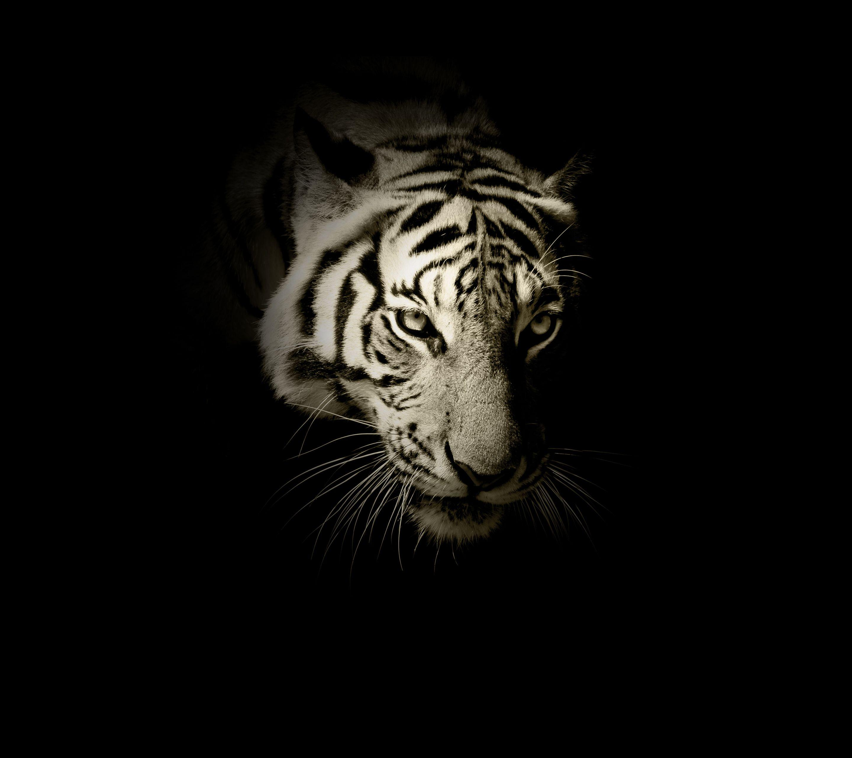Siberian White Tiger 4k Wallpapers - Wallpaper Cave