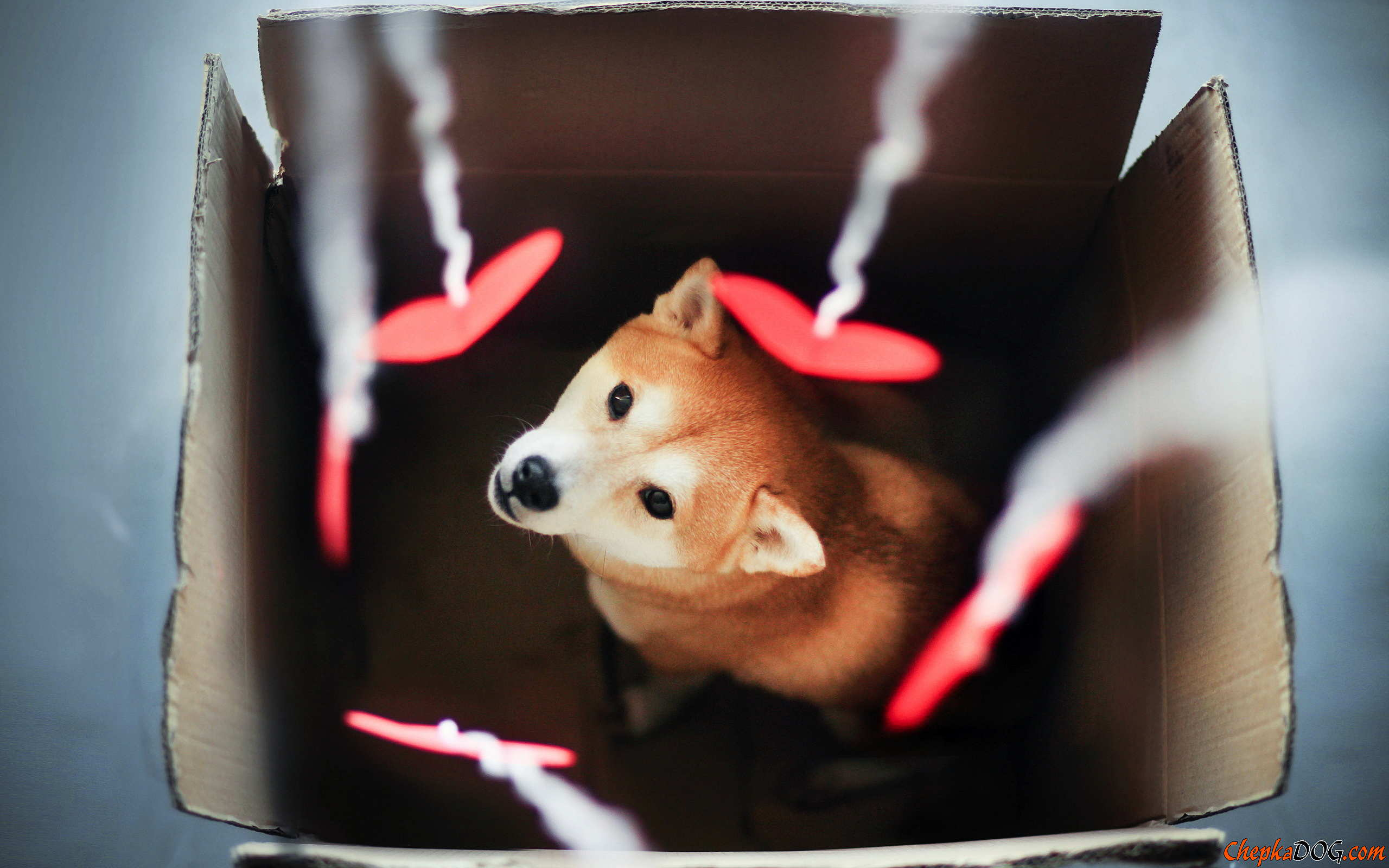 Shiba Inu Wallpapers Group (61+)