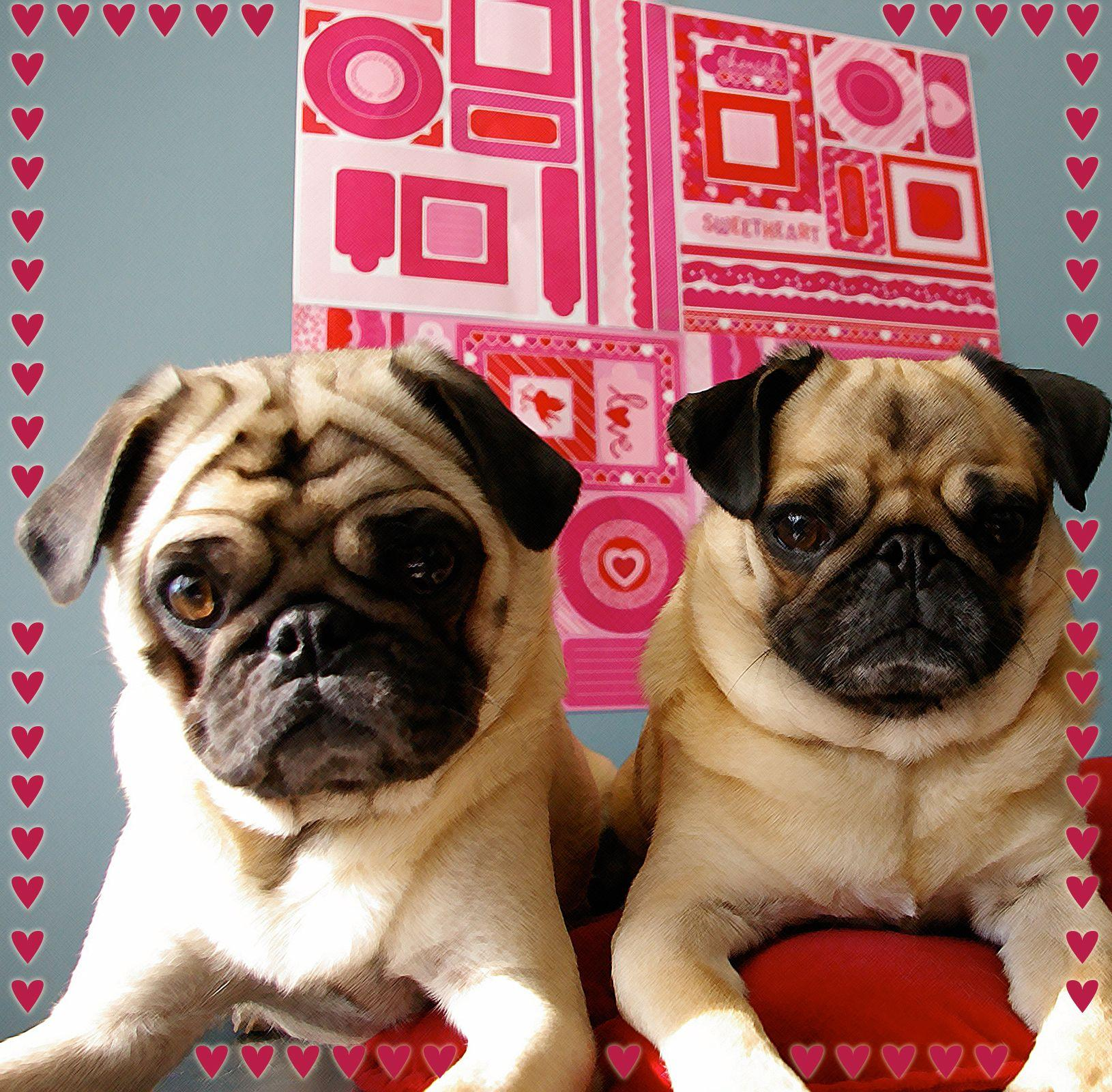 Two Cute Valentine Pug Dogs Photo And Wallpaper Beautiful Puppy ...