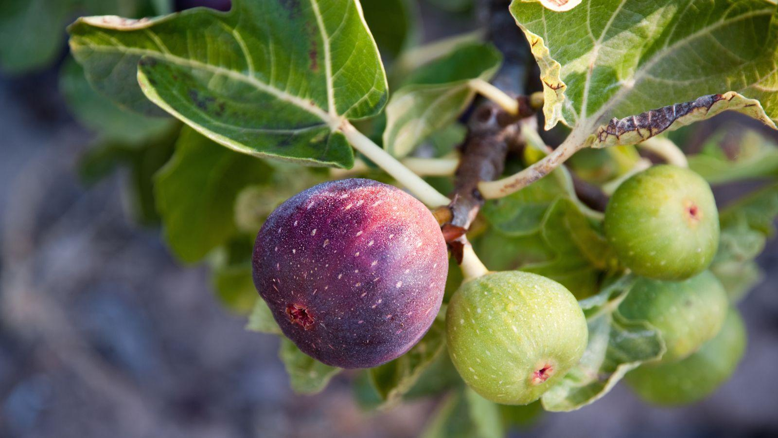 Eating Fruit on Tu Bishvat