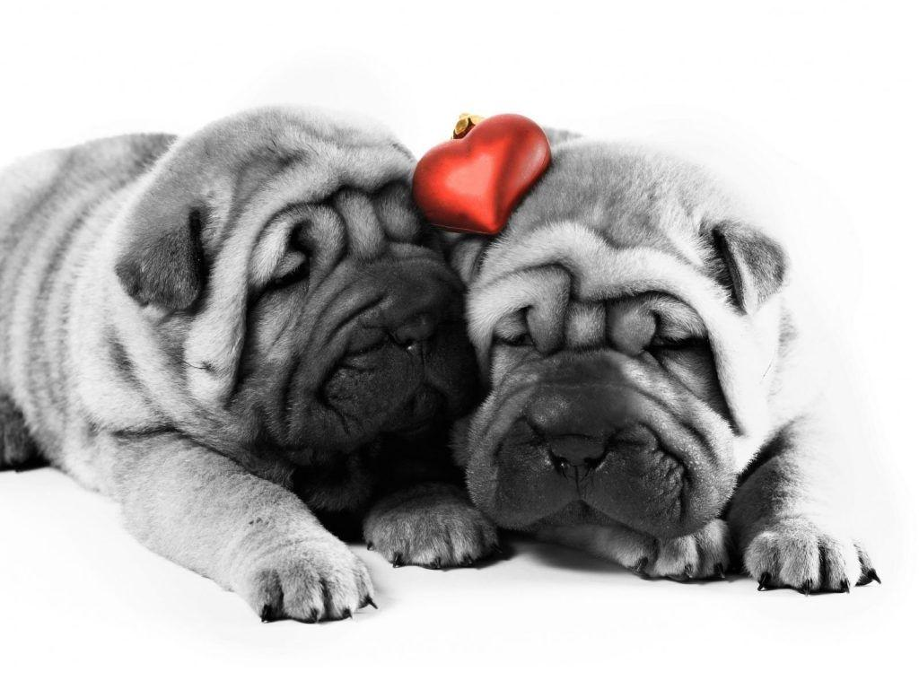 Download Beautiful Cute Dog Valentines Day Wallpapers