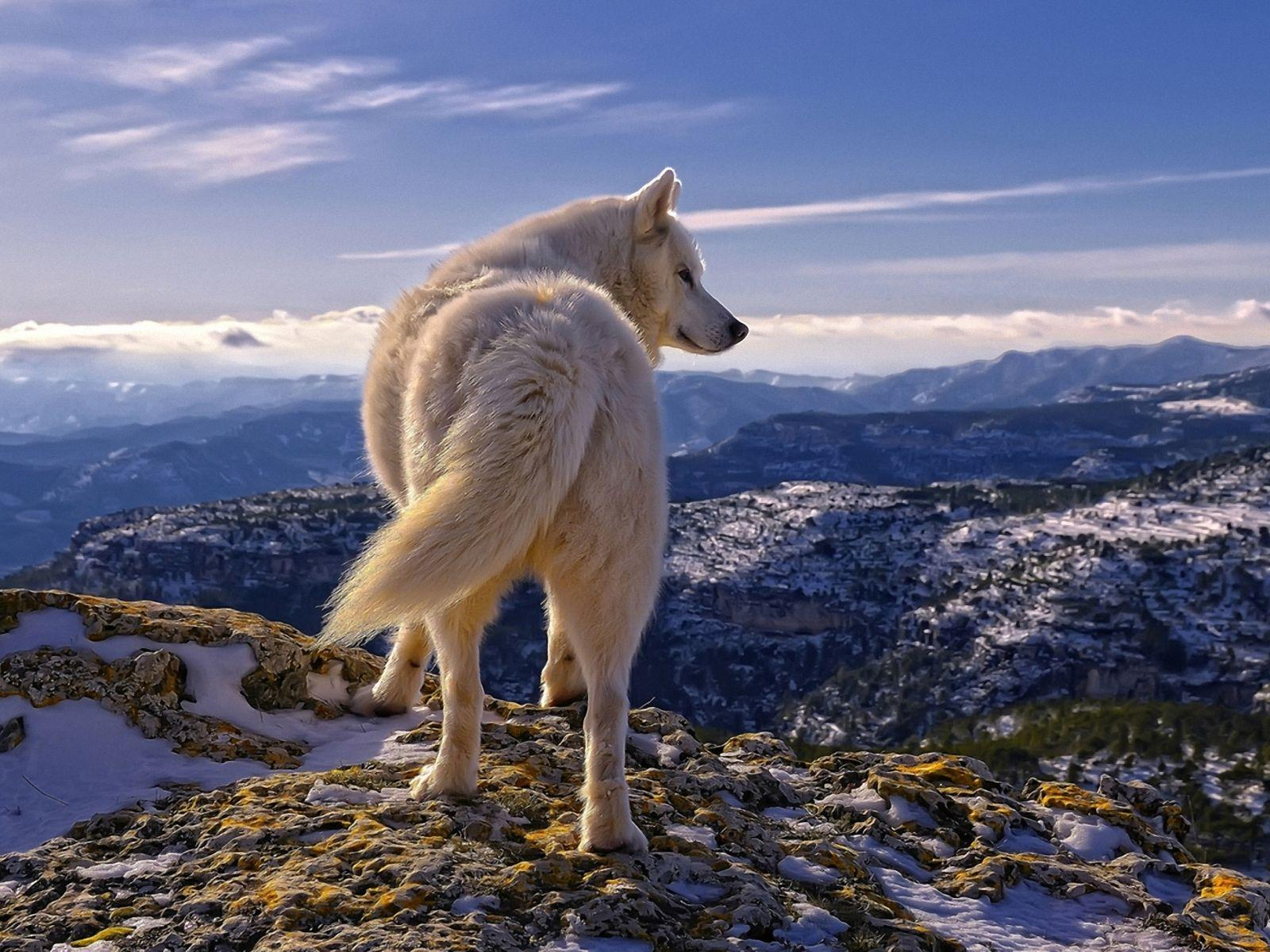 Wolf In Mountain Wallpapers Wallpaper Cave