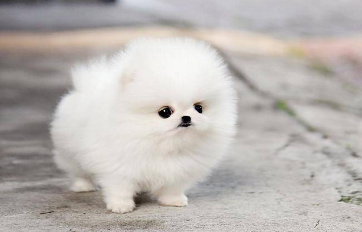 Pomeranian Teacup Dogs Wallpapers Wallpaper Cave